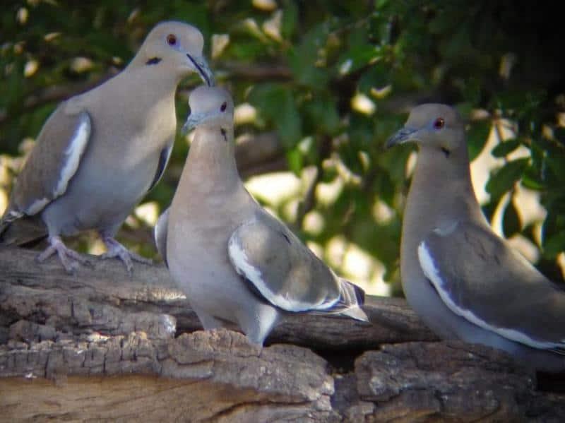 3 Doves